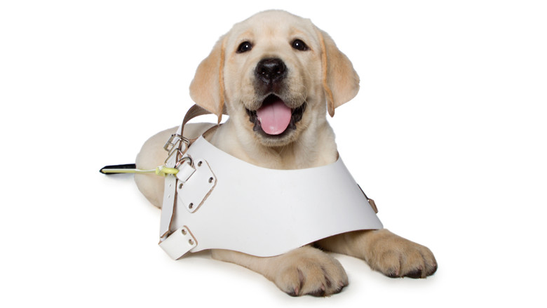 Yellow puppy sitting in harness
